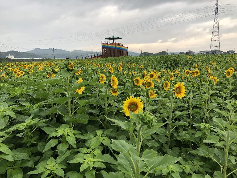 【令和元年7月3日現在】花公園ヒマワリ開花状況