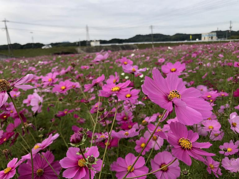 【平成30年10月22日現在】おおとう桜街道花公園のコスモス開花状況です。