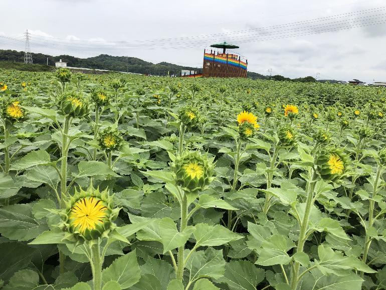 【令和元年7月1日現在】花公園ヒマワリ開花状況
