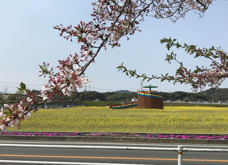 【平成31年4月9日現在】花公園菜の花開花状況