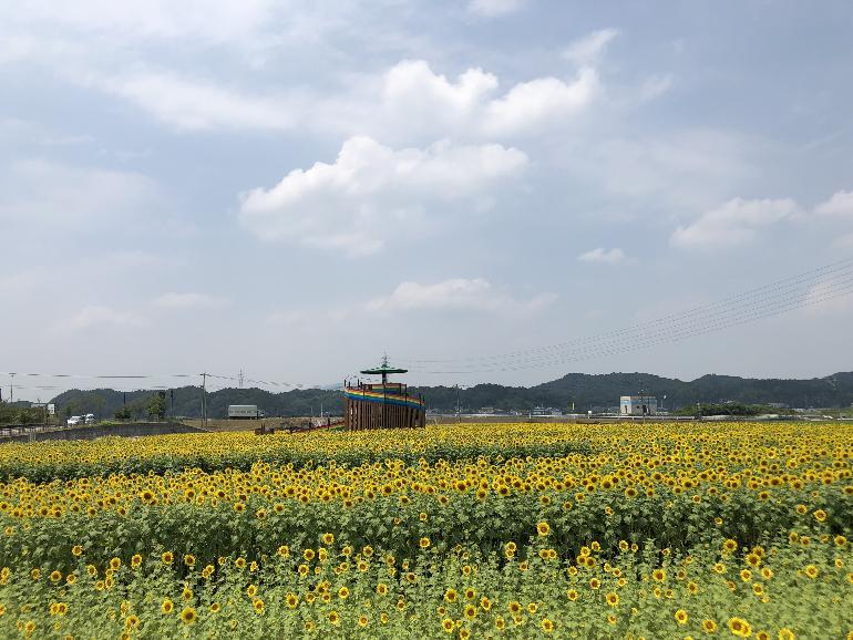 【平成30年7月18日現在】花公園ヒマワリ開花状況